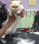 White fluffy cat getting shorn