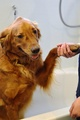 Golden retriever holding paw